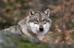 Нападения волков участились