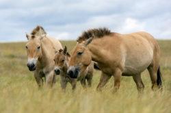 Лошадь Пржевальского – в списке исчезнувших видов